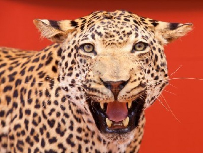 7050548-nice-portrait-of-a-leopard-stuffed-with-red-background